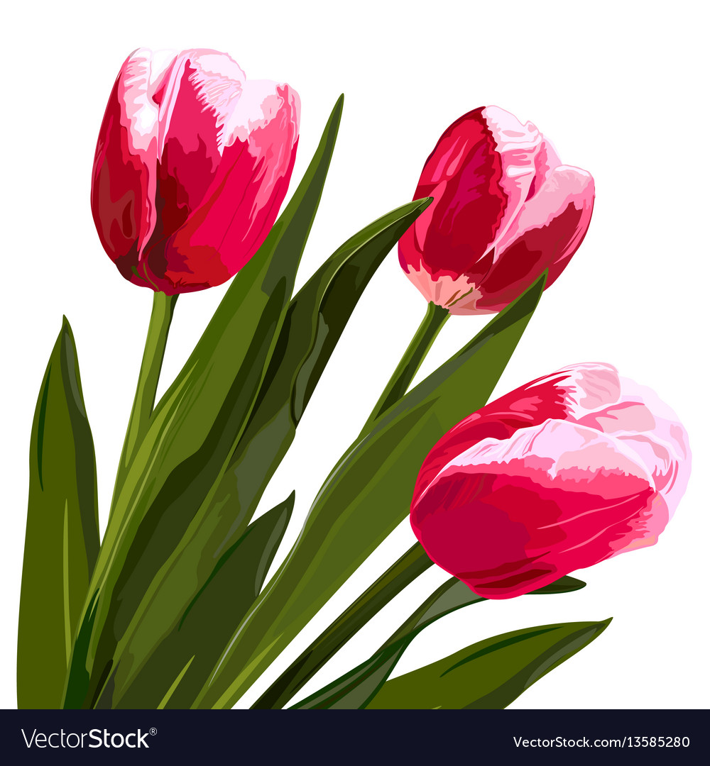 Watercolor beautiful tulips flowers vector image