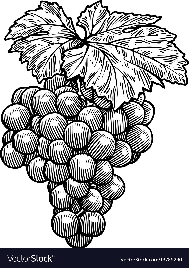 Grape drawing engraving ink line