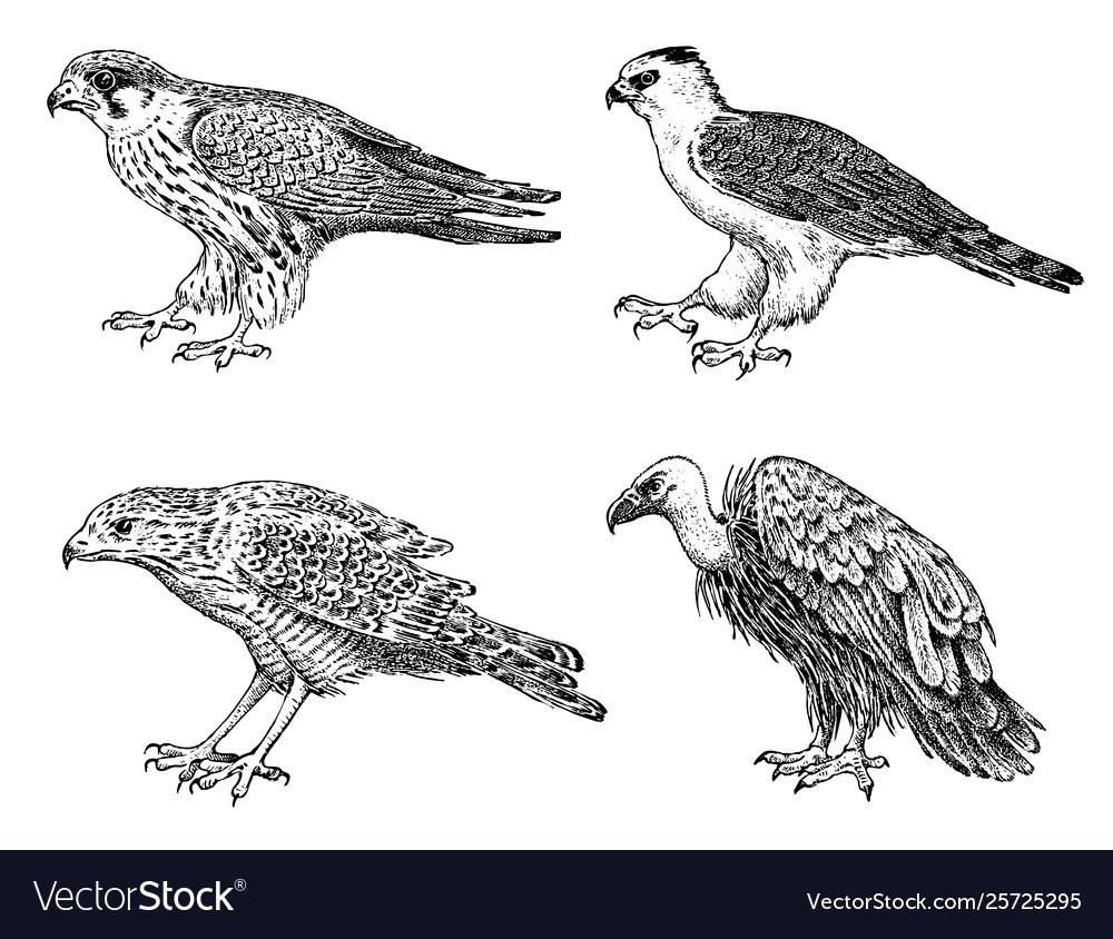 Set wild birds goshawk griffon vulture