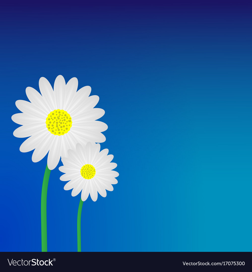 White Daisy Flower Background Royalty Free Vector Image