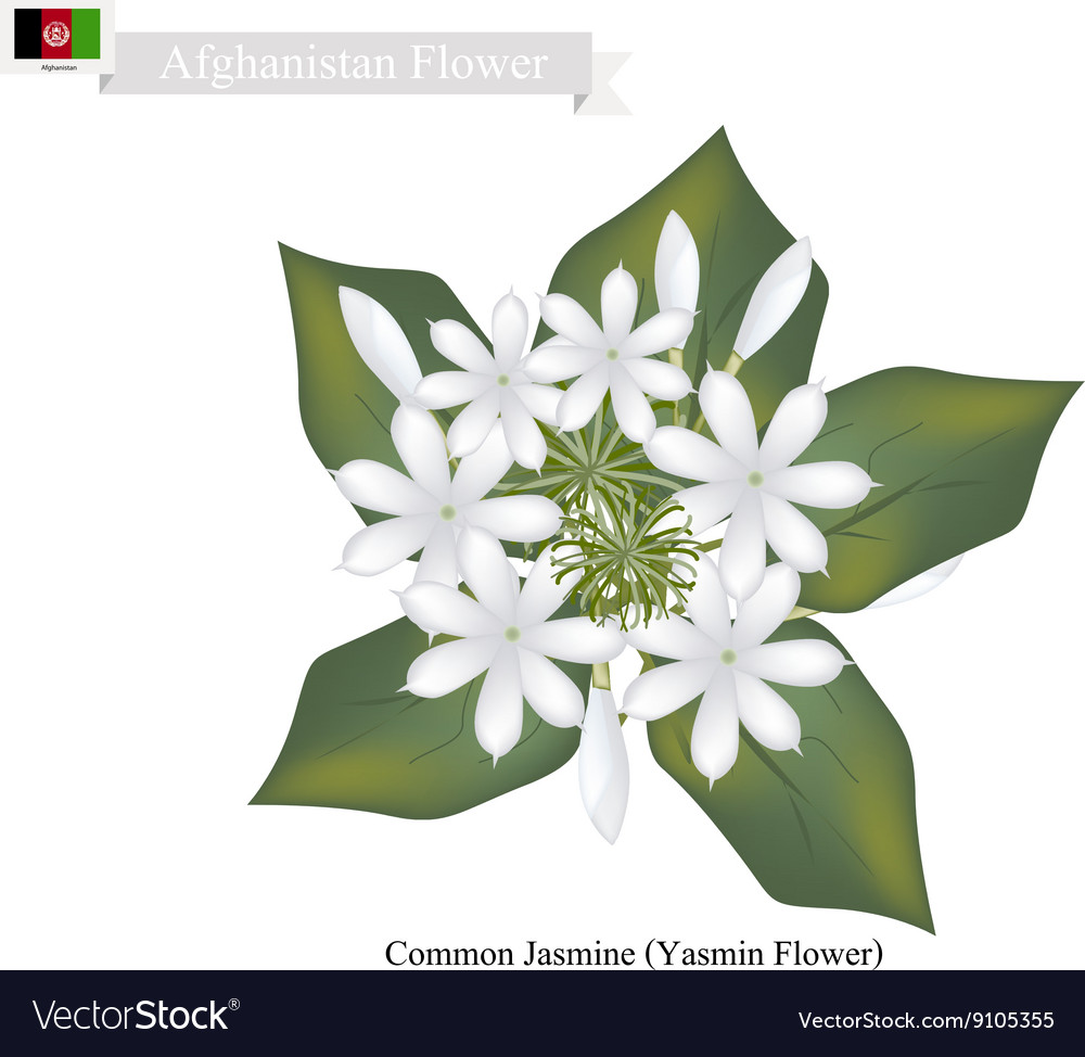 Common Jasmine The National Flower Of Afghanistan Vector Image