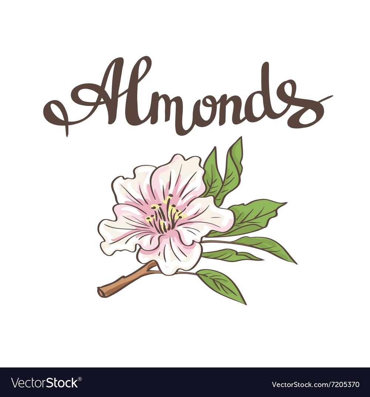 Almond flower hand drawn
