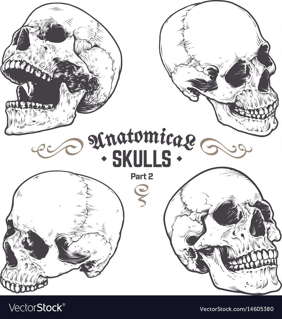 Anatomical skulls set