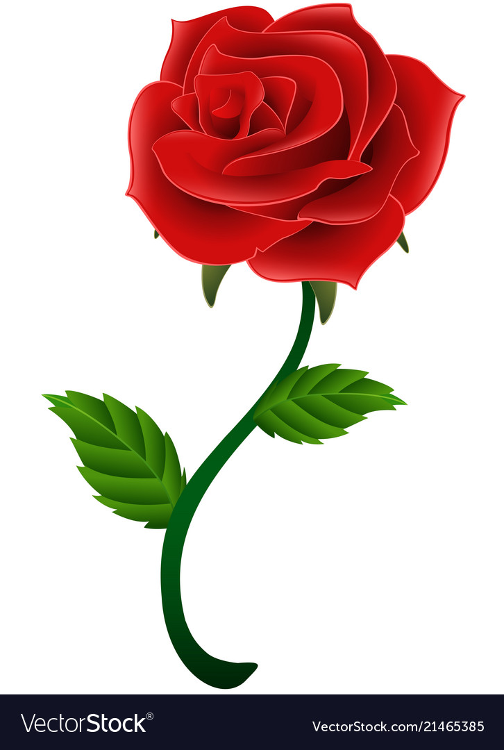 Blooming red flower rose isolated a white backgrou