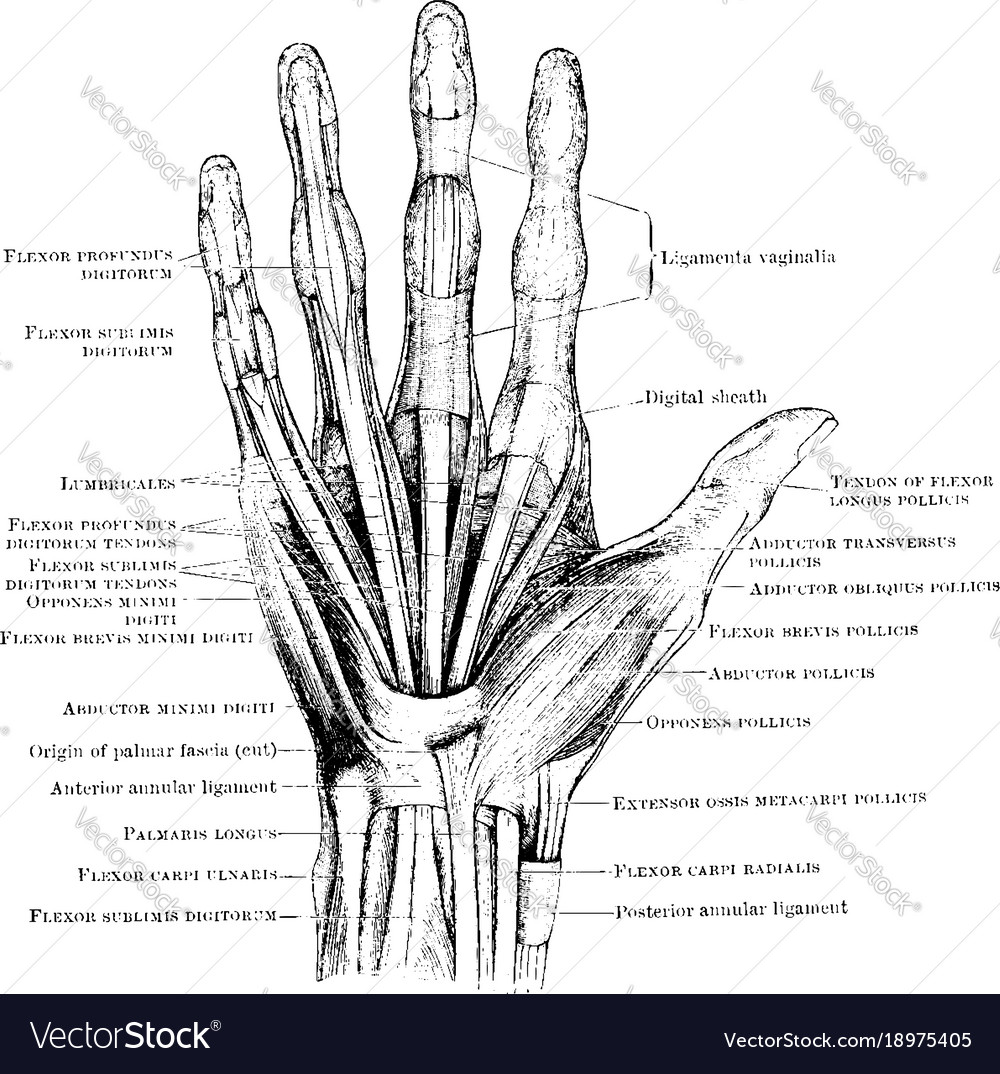 Hand Muscles Vintage Royalty Free Vector Image