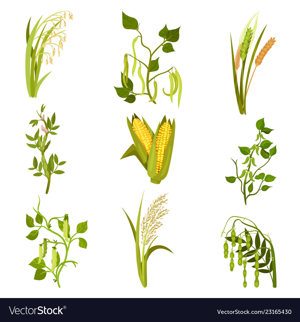 Flat Sett Cereals And Legumes Plants Royalty Free Vector