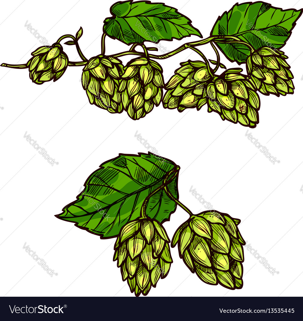 Hops plant branches flowers and cones
