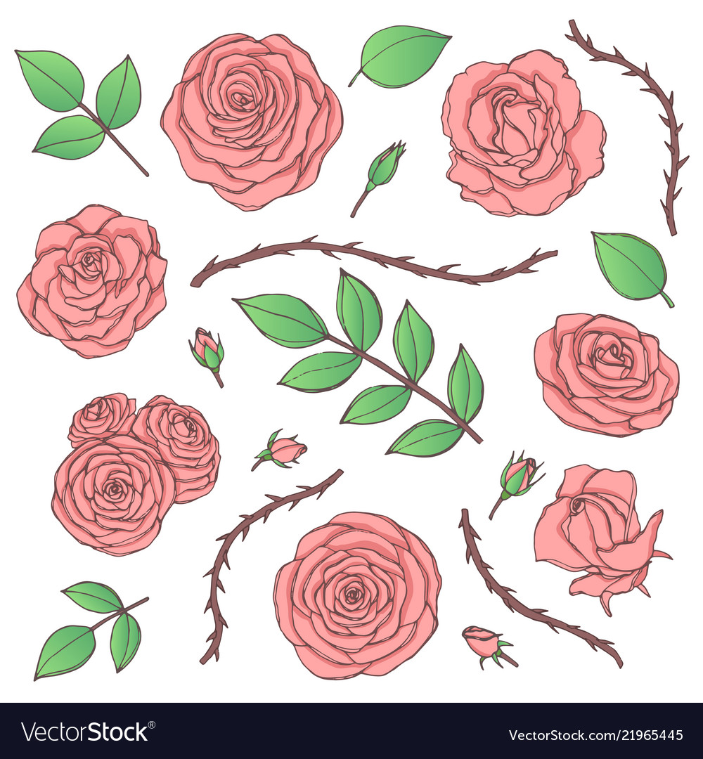 Set of pink rose flowers with buds leaves