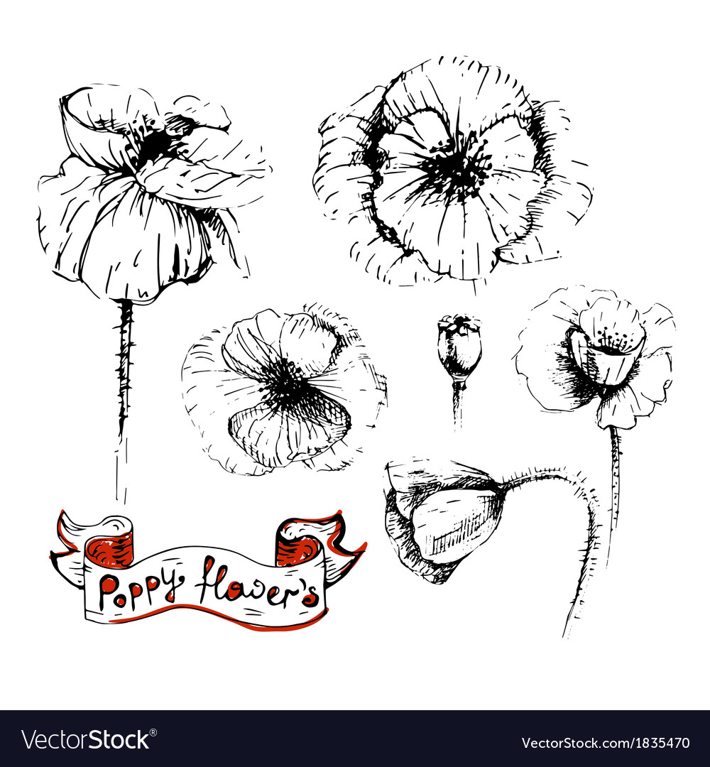 Poppy flowers sketches in different positions vector image mightylinksfo