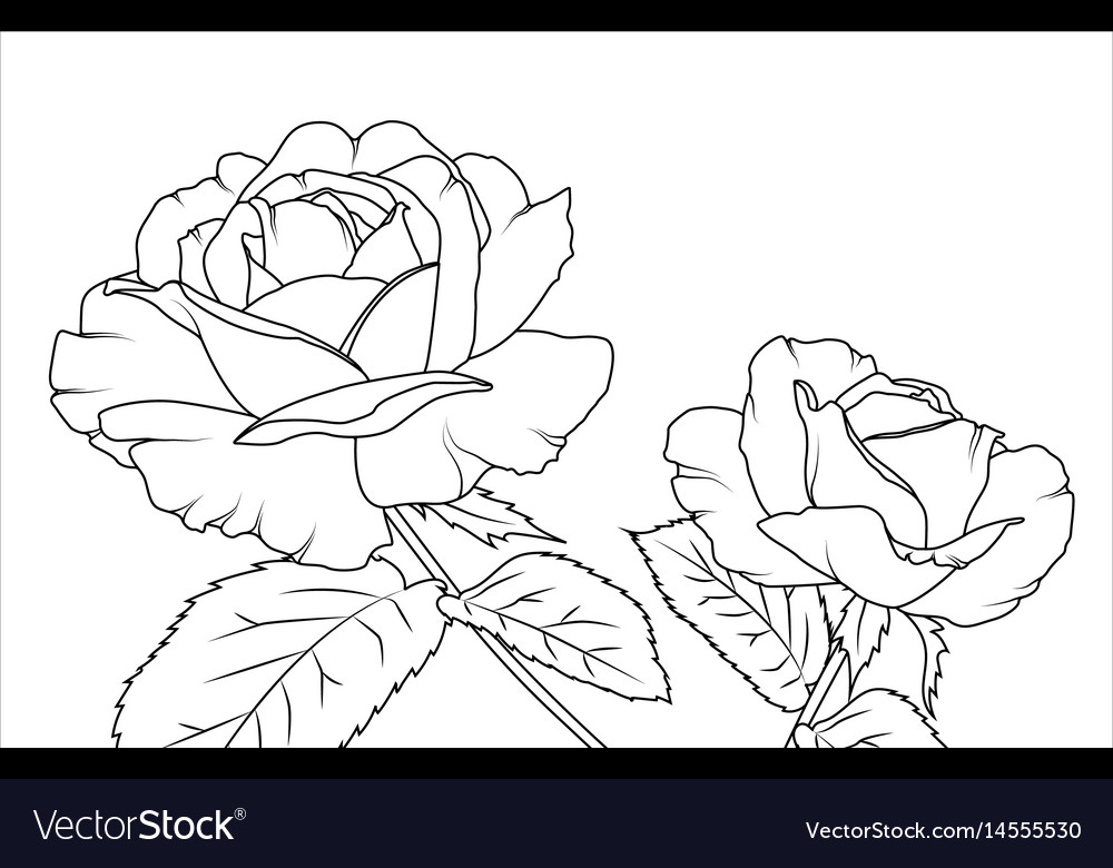 Rose flowers draft sketch outline hand drawing