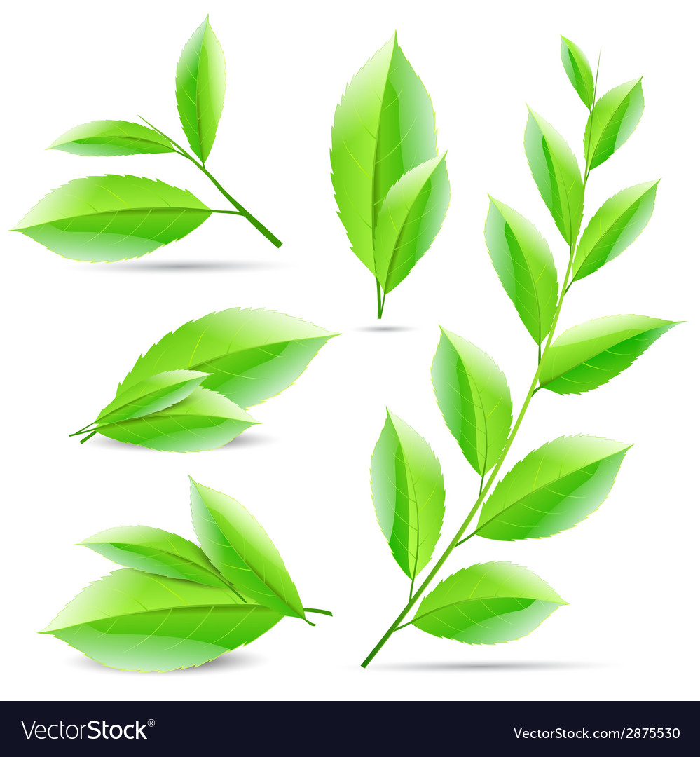 Set Of A Collage Green Tea Leaves Vector Image