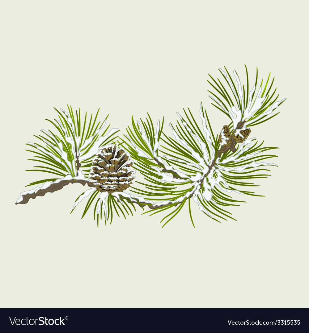 Branch of Christmas tree with snow Pine branch