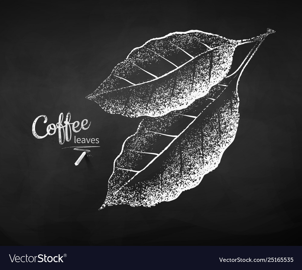 Chalk drawn sketch coffee leaves