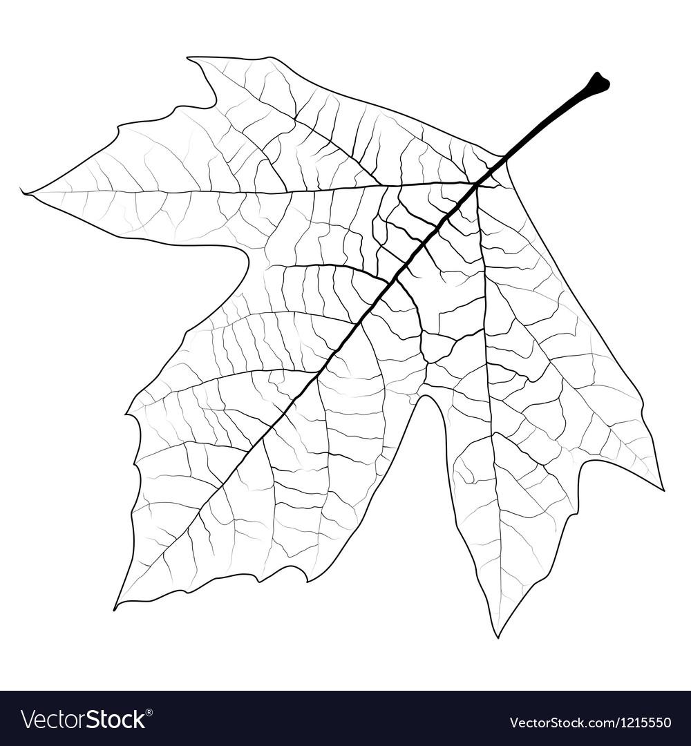 Unclolred Sycamore Leaf vector image