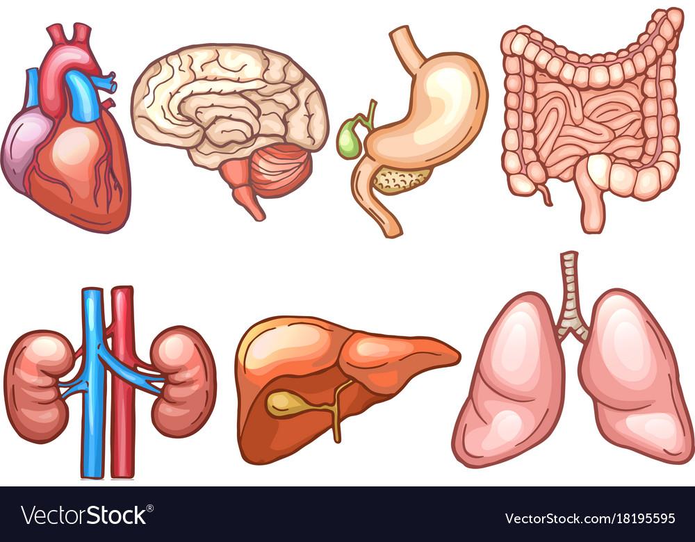 Human Organs In Cartoon Style Biology Royalty Free Vector