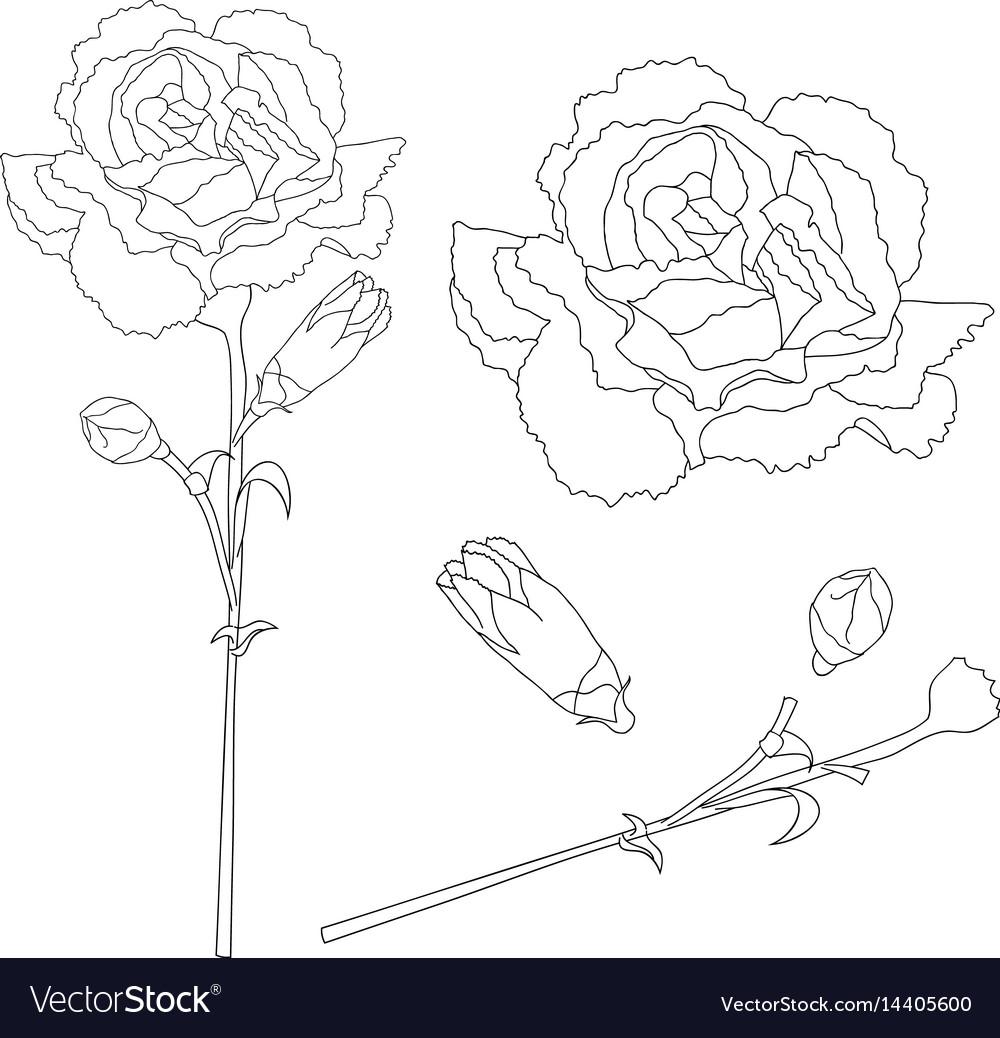 cb04e2a6d Dianthus caryophyllus outline - carnation flower Vector Image