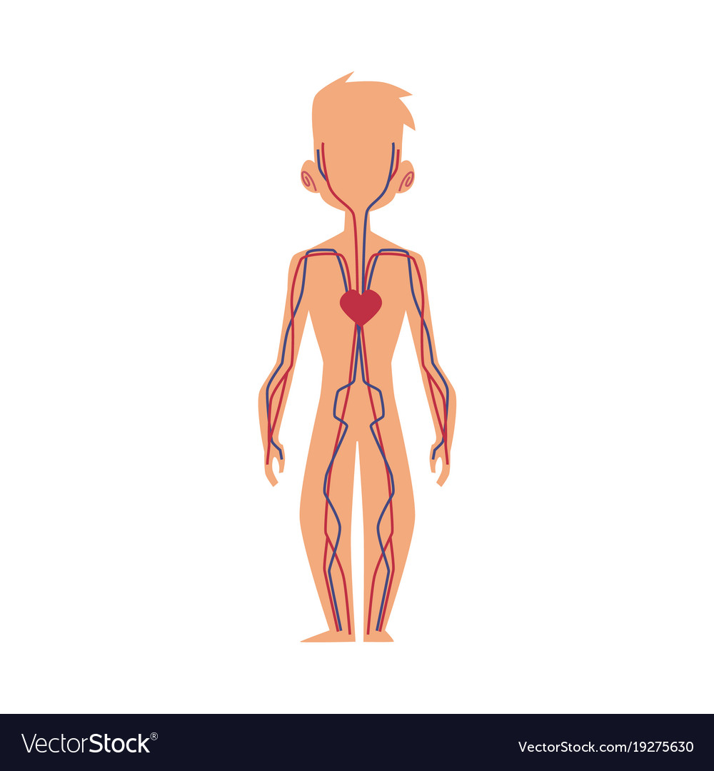 Anatomy Chart Of Human Blood System Male Body Vector Image