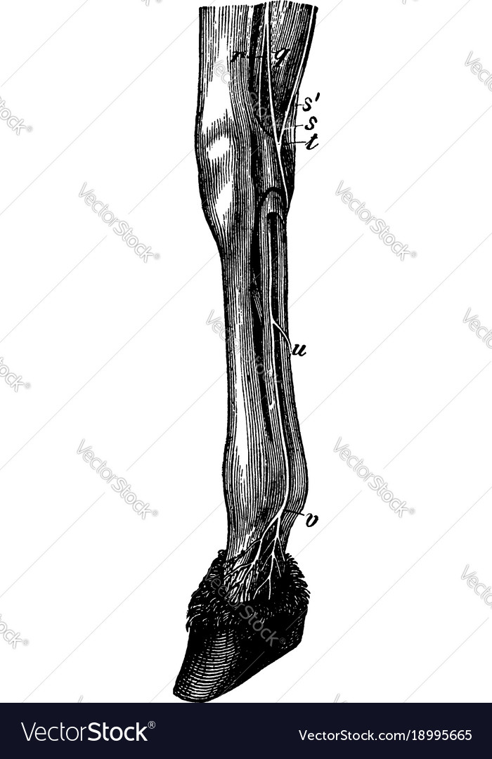 Leg of a horse showing nerves vintage Royalty Free Vector