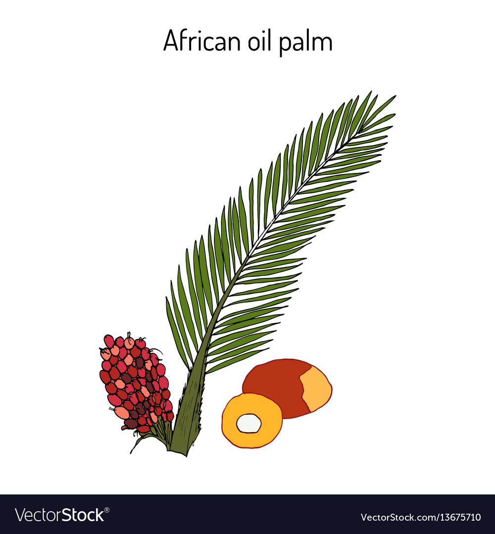 African oil palm elaeis guineensis or macaw-fat vector image