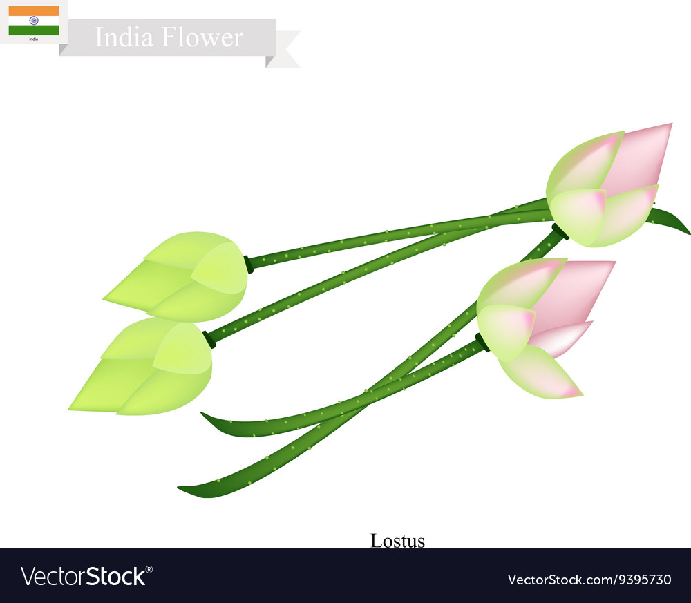Water lily blossom the national flower of india vector image izmirmasajfo
