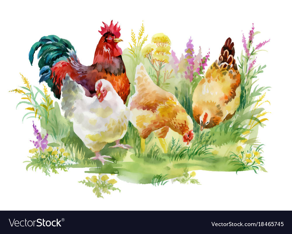 Chicken and rooster in the grass on white vector image