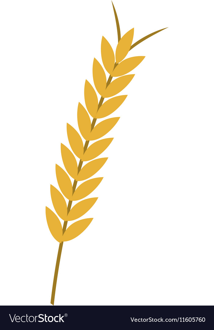 ear of wheat royalty free vector image vectorstock rh vectorstock com wheat vector free download wheat vector free
