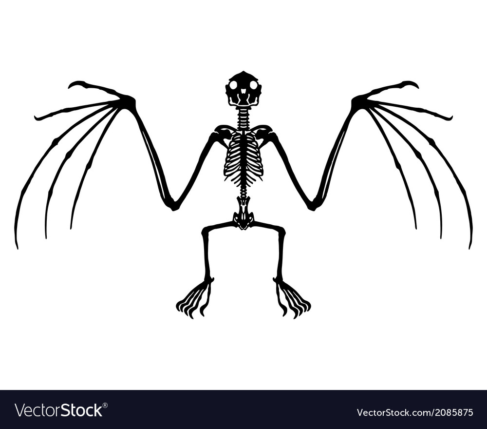 Bat skeleton Royalty Free Vector Image - VectorStock