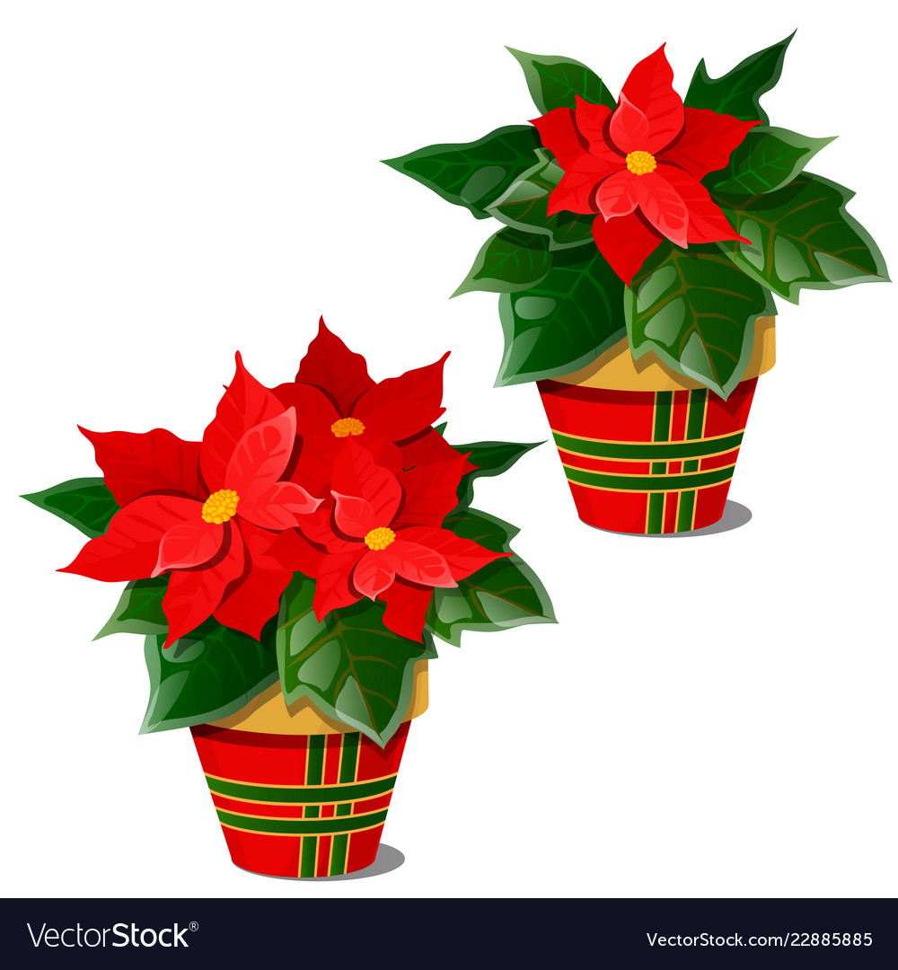 The Flowering Poinsettia Plants In Pots Isolated Vector Image