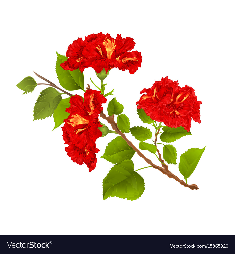 Red hibiscus branch tropical flowers on a white vector image mightylinksfo