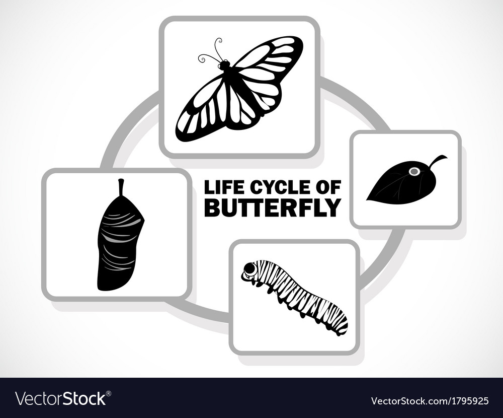 Butterfly life cycle vector image