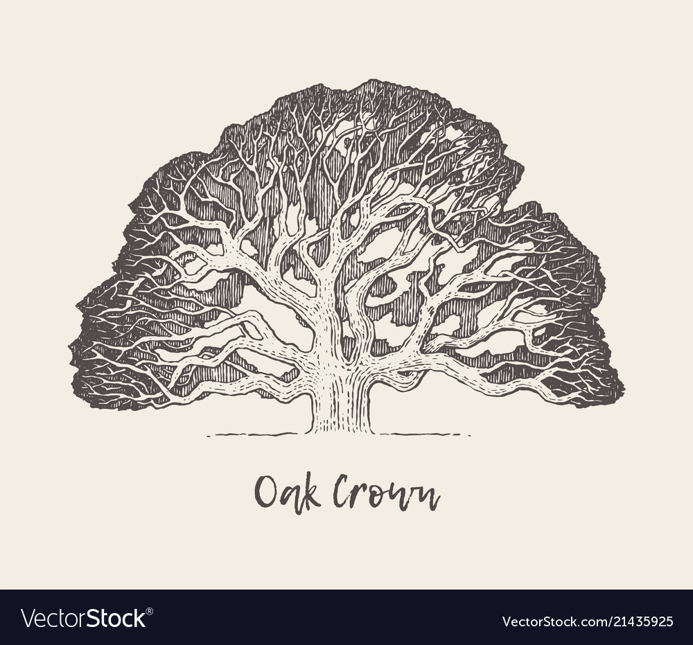 Old oak tree hand drawn engraved style