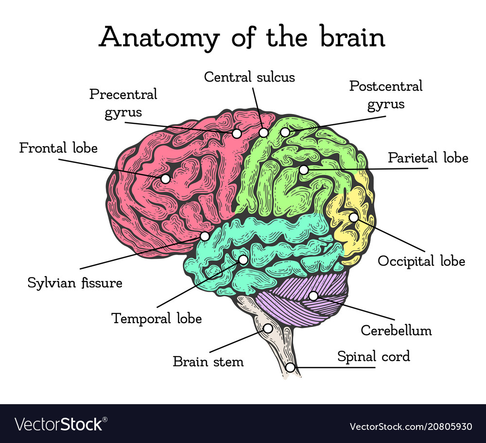 Brain Anatomy Color Scheme Royalty Free Vector Image