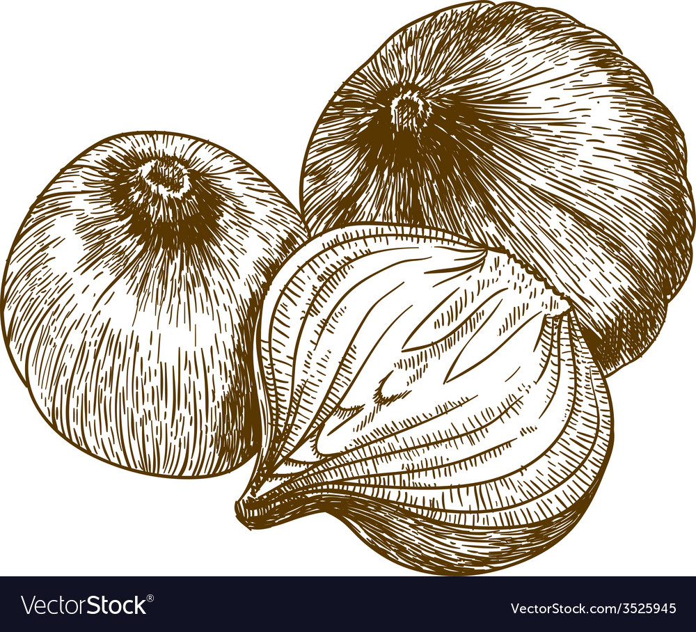 Engraving tree onions vector image