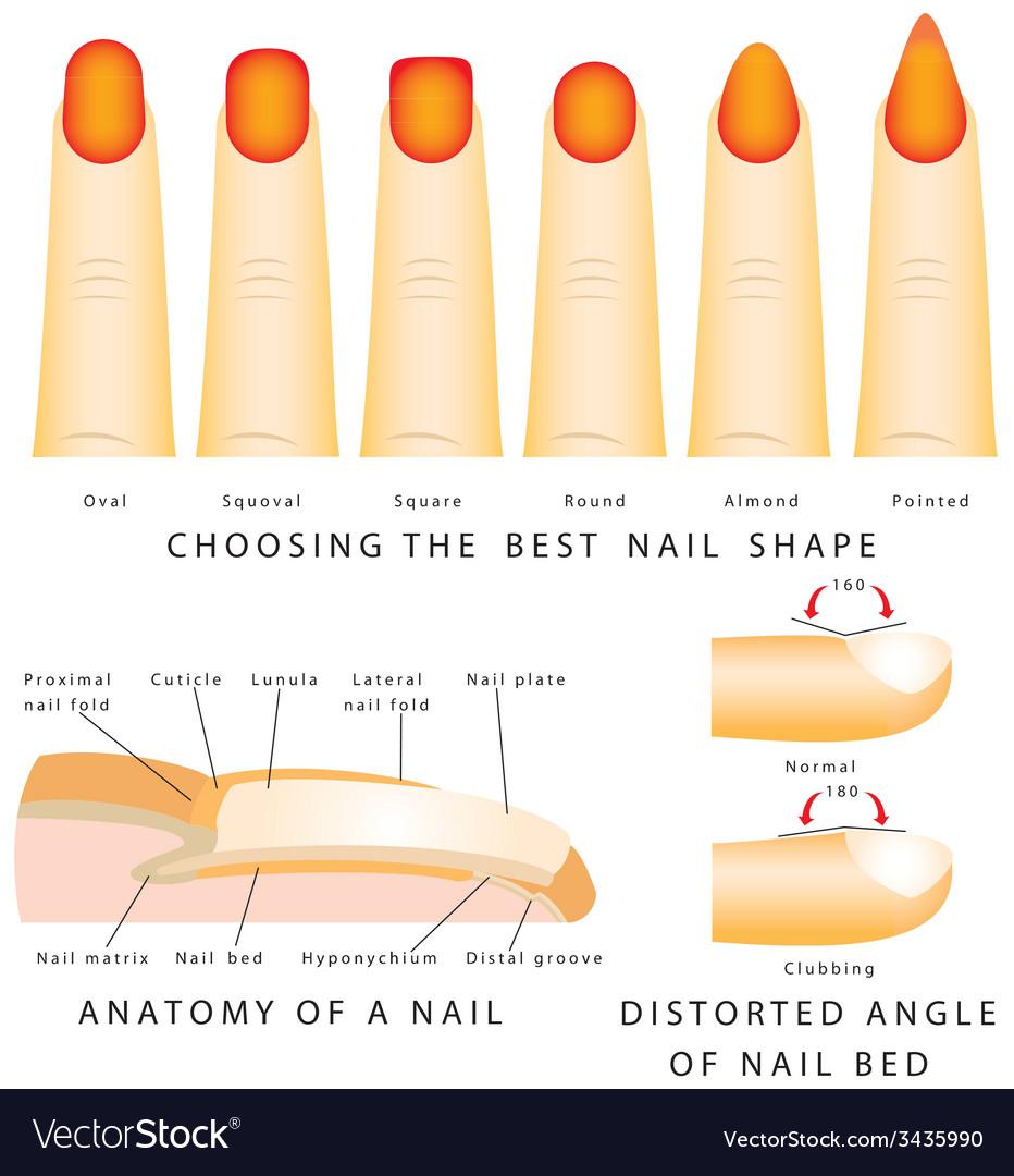 Nail shape Royalty Free Vector Image - VectorStock