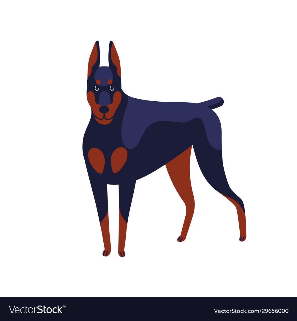 Strong colored doberman pinscher dog breed