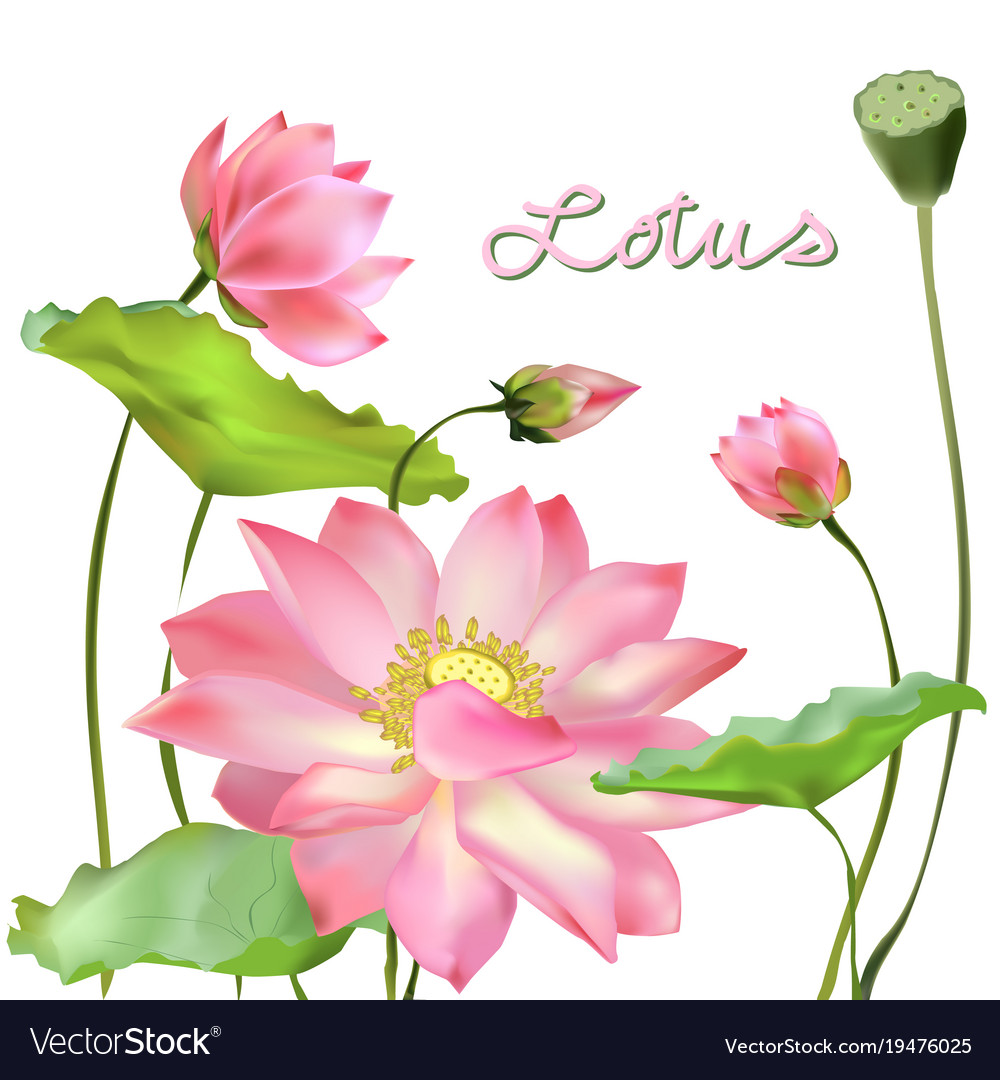 Flowers Buds And Leaves Of The Lotus Royalty Free Vector