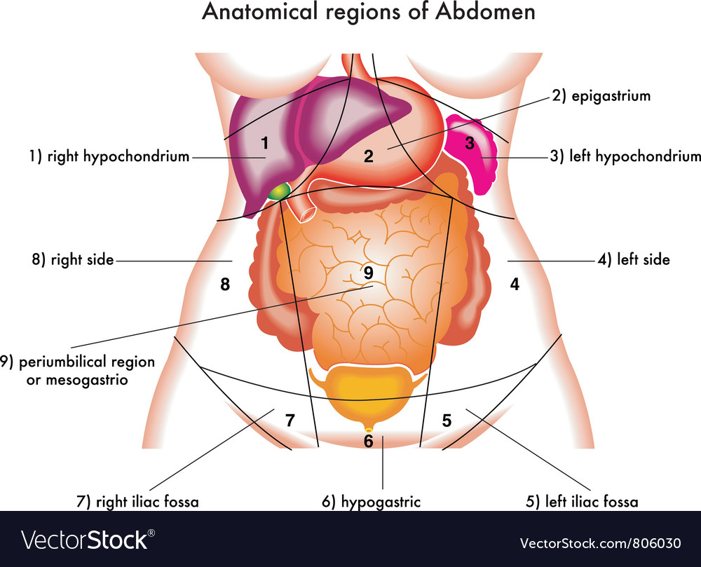 Abdomen Royalty Free Vector Image - VectorStock