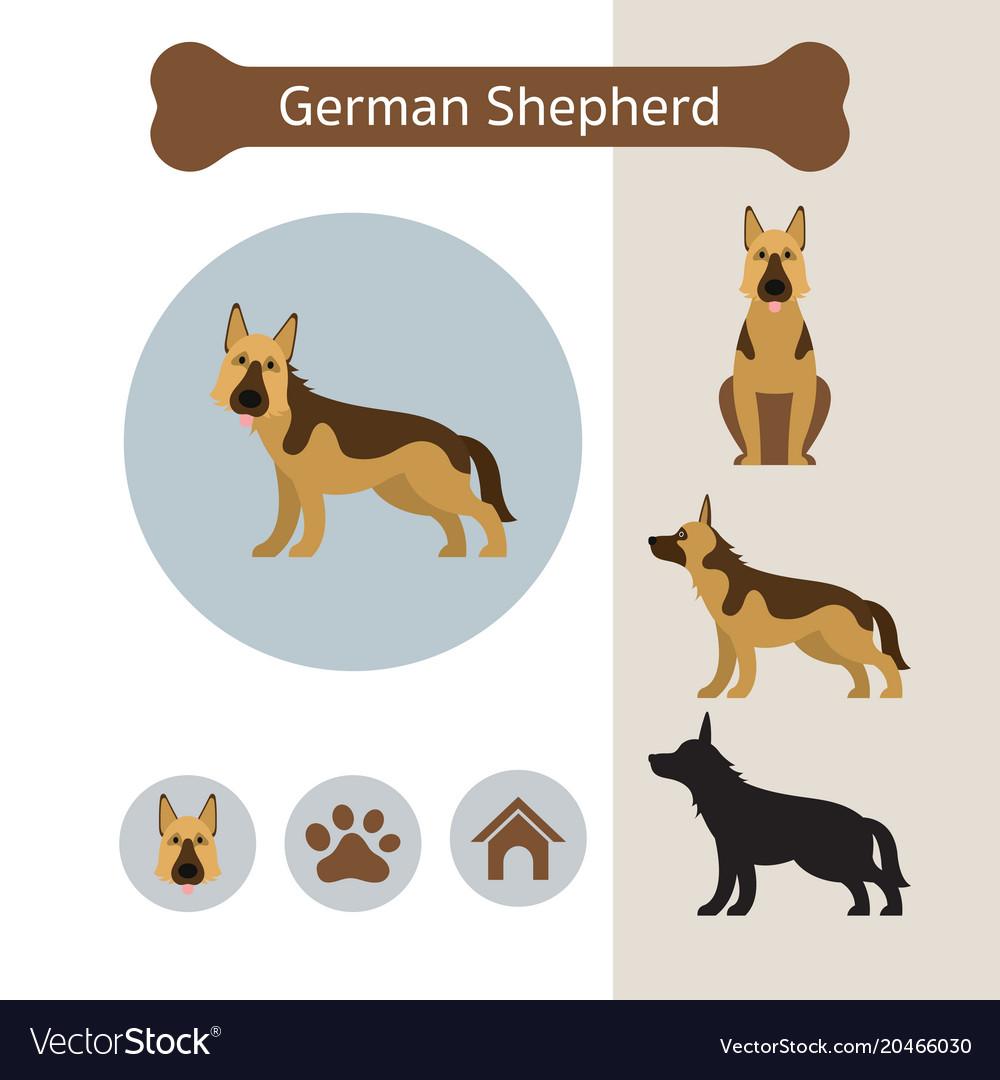 German shepherd dog breed infographic vector image