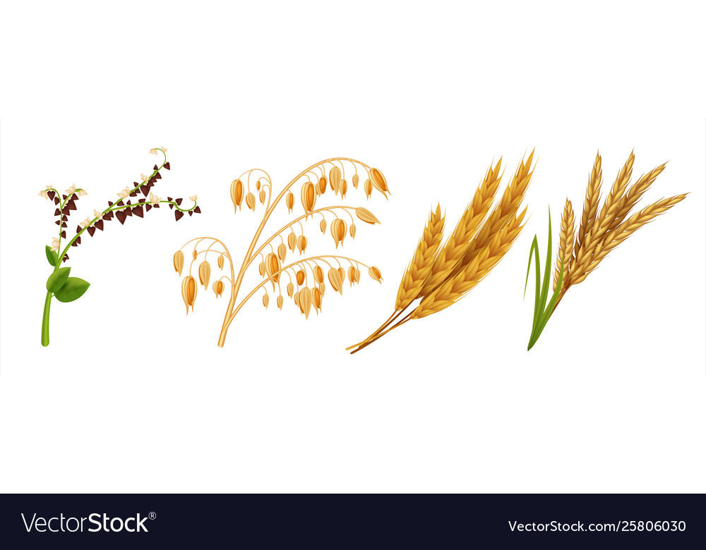 Realistic cereals oat wheat rice and barley ears
