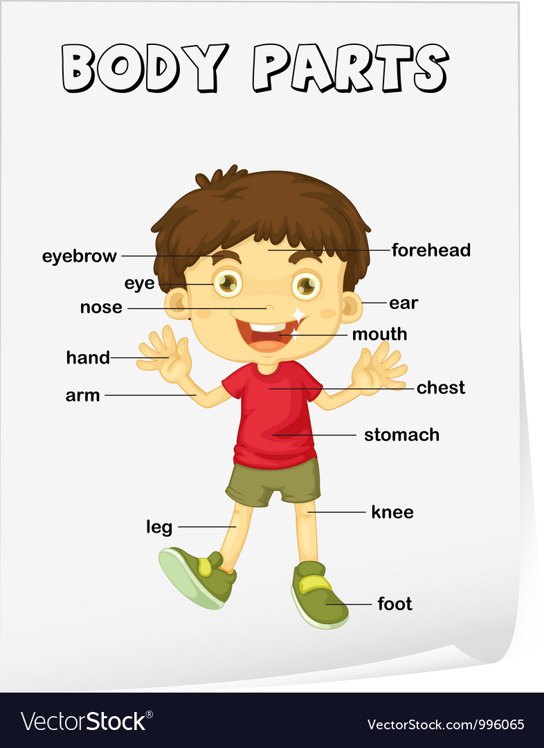 Body Parts Diagram Poster Royalty Free Vector Image