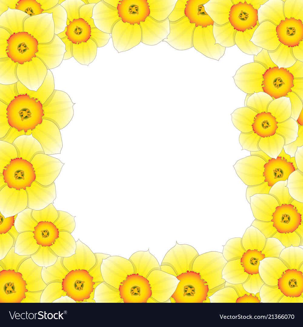 Yellow daffodil - narcissus flower border Vector Image