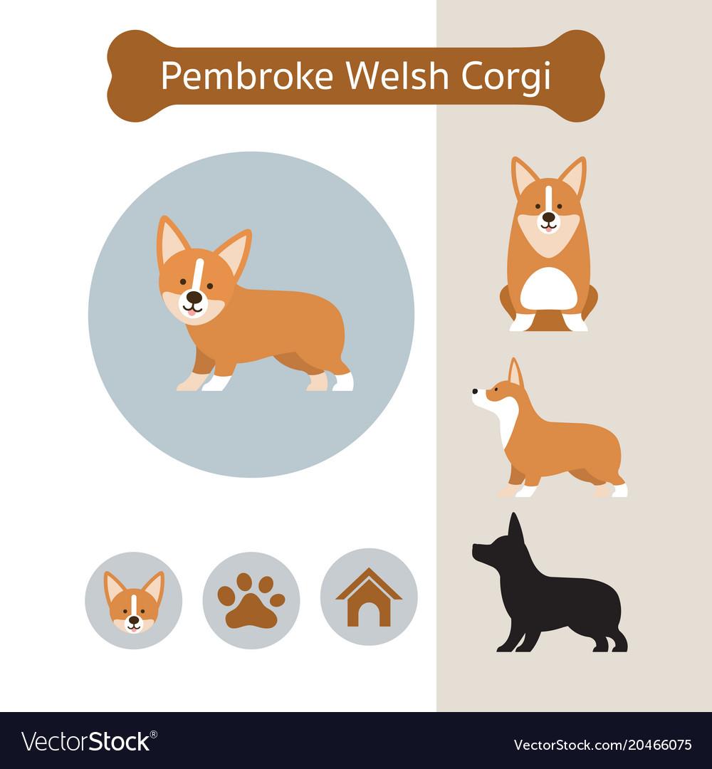 Pembroke welsh corgi dog breed infographic vector image