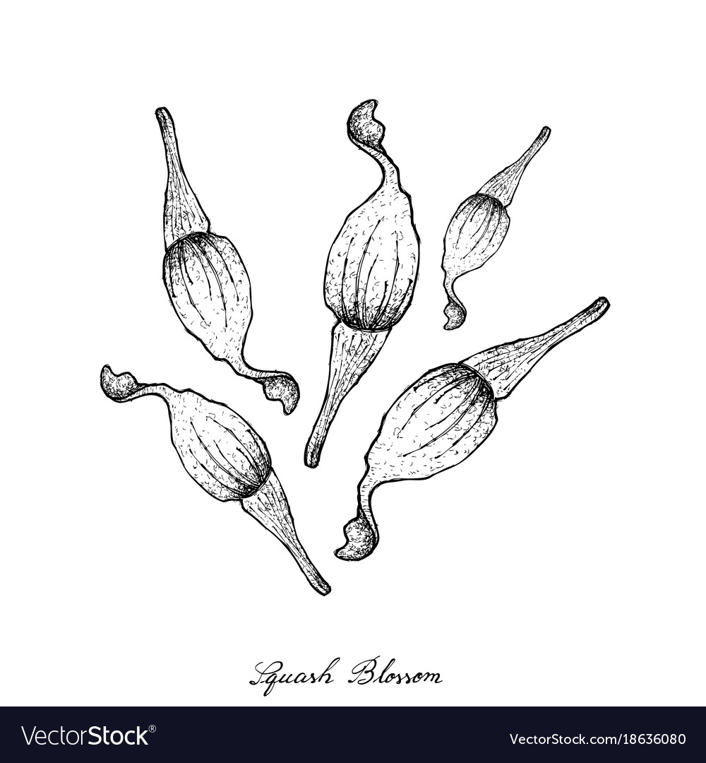 Hand drawn of squash blossoms royalty free vector image hand drawn of squash blossoms vector image mightylinksfo