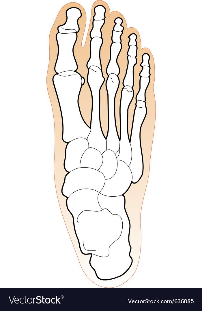 Bones Of A Human Foot Royalty Free Vector Image