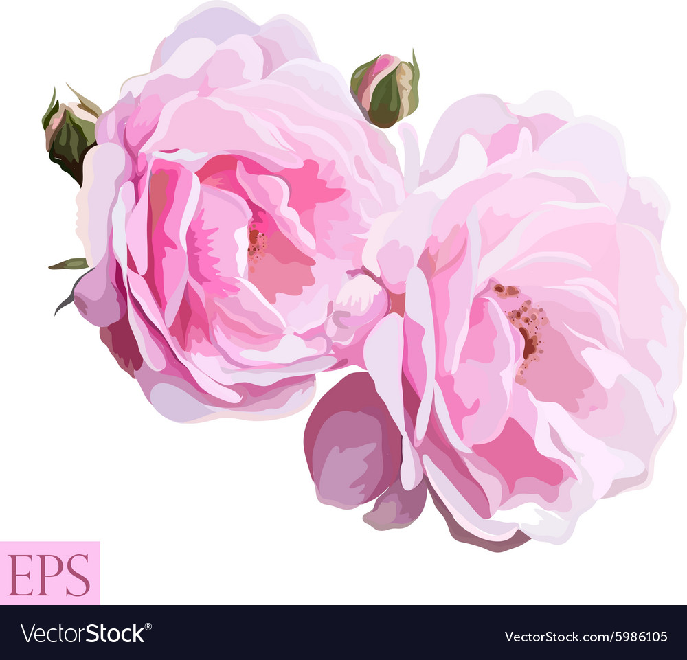 Pink rose with leaves on white background vector image