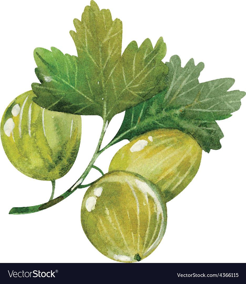 Watercolor gooseberry