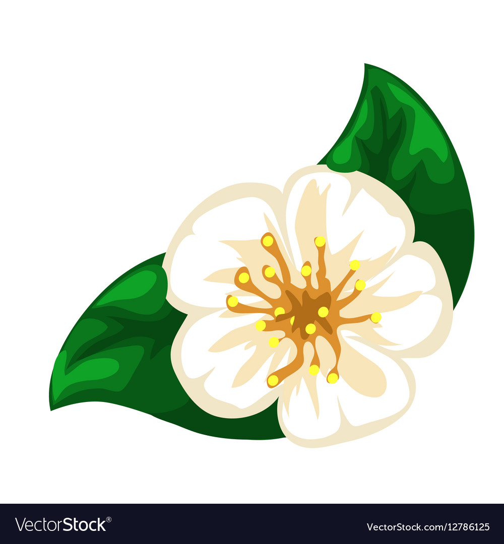 White blooming apple flower closeup