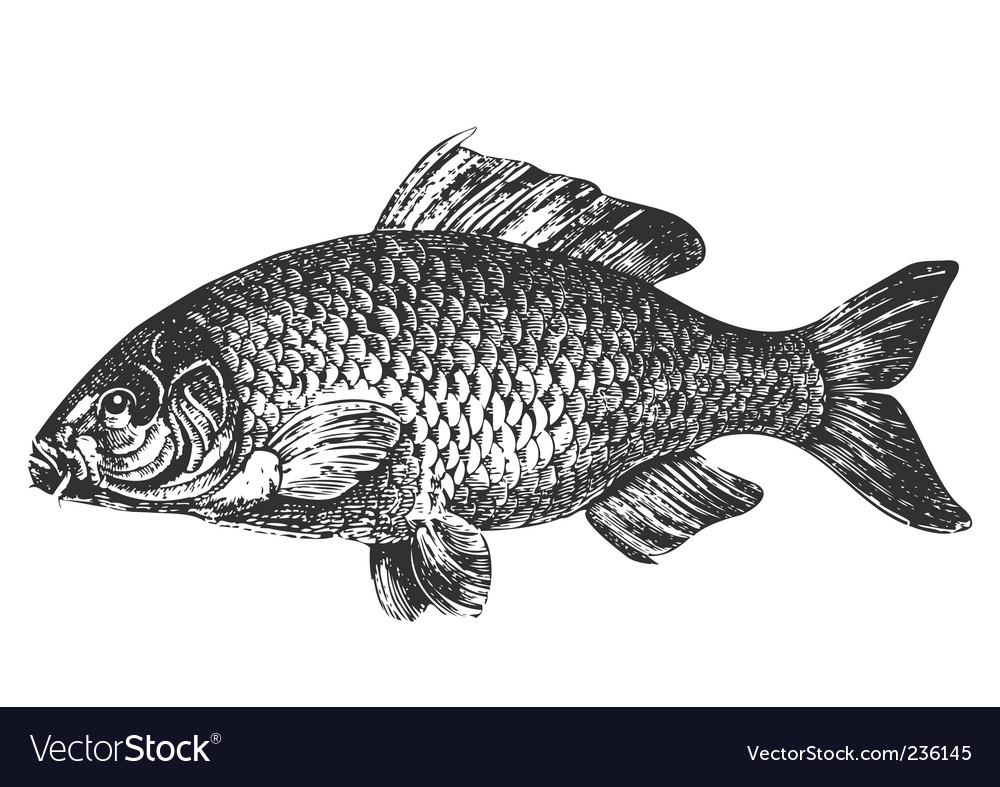 Carp fish antique illustration