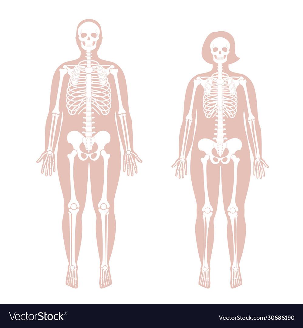 diagram of male skeleton woman and man skeleton anatomy royalty free vector image  skeleton anatomy royalty free vector image