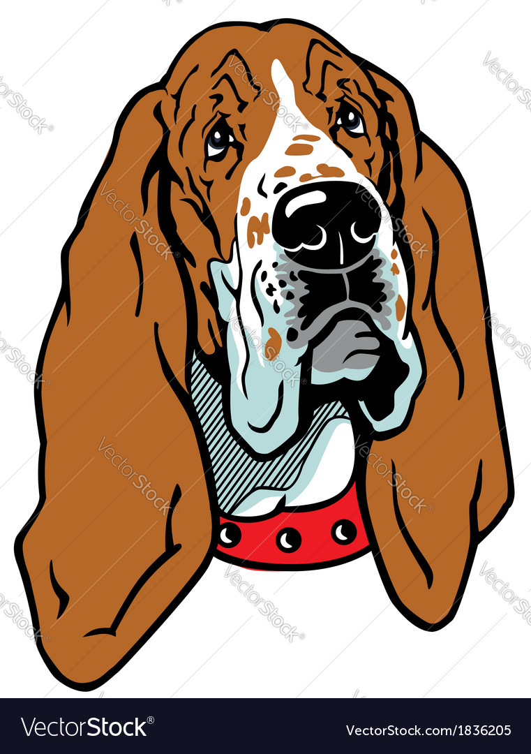 Head of basset hound